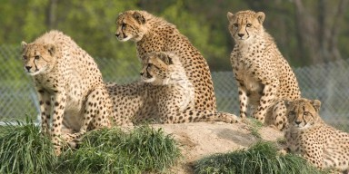 coalition of five cheetahs sitting on a rock in the grass