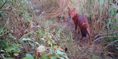 dhole caught by camera trap