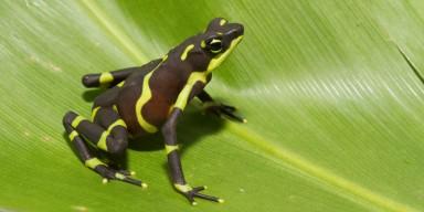 limosa harlequin frog