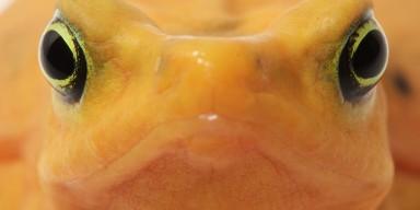 close-up of Panamanian golden frog face