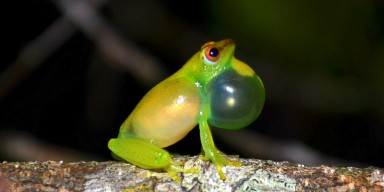 A yellow-green sprinkled long reed frog on a branch with its throat expanded