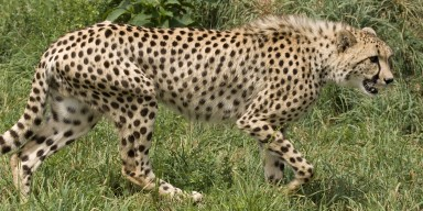 cheetah walking in the grass