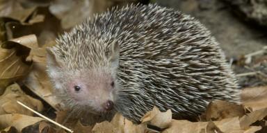 small madagascar hedgehog tenrec