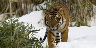 Sumatran tiger looking at camera