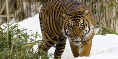sumatran tiger bamboo background
