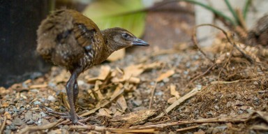 A Guam rail standing on the ground