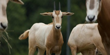 A scimitar-horned oryx calf