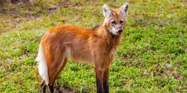 A maned wolf standing in the grass