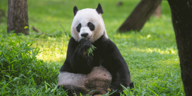 Giant panda Mei Xiang sits in the grass eating bamboo in her outdoor habitat at the Smithsonian's National Zoo