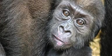21-week-old western lowland gorilla infant Moke enjoys mom Calaya's birthday ice treats.