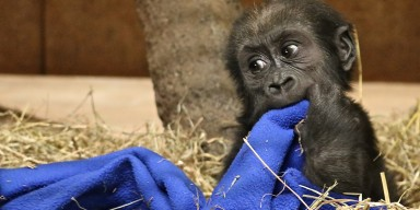 Western lowland gorilla Moke with blanket, 6 months old.