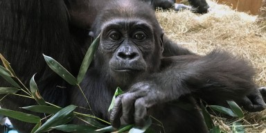 Western lowland gorilla Moke at the Great Ape House.