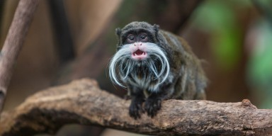 Fleck, one of the new emperor tamarins at the Zoo's Amazonia exhibit. He has a slightly bushier mustache than his brother Poe.