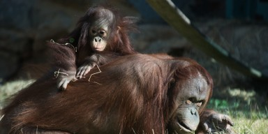 A young orangutan, named Redd, sits on the back of an adult female orangutan as she lays in the grass