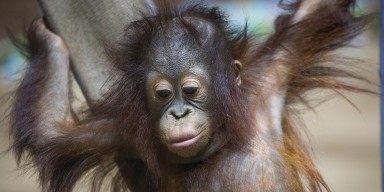 Bornean orangutan Redd at the Smithsonian's National Zoo