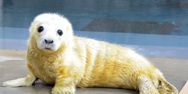 Female gray seal pup