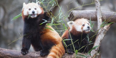 Red pandas on exhibit at Asia Trail