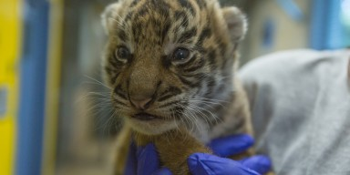 A Sumatran tiger cub being held by a keeper