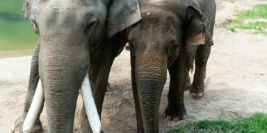 Elephants Spike (left) and Maharani (right).