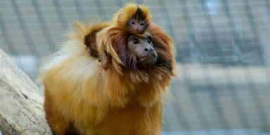 An infant golden lion tamarin on its father's. Both the adult and infant have thick, golden fur with manes around their heads.