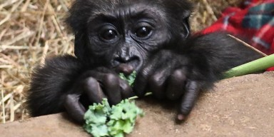 Western lowland gorilla infant Moke at 6 months old.