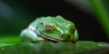 A red-eyed tree frog sleeping. Its green body blends in with the green leaf it's resting on, and the red color of its eyes can be seen slightly through its closed eyelids