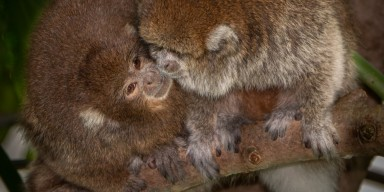 Titi monkeys Henderson (left) and Kngston (right) in Amazonia.