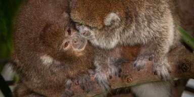 Titi monkeys Henderson (left) and Kngston (right) in Amazonia.