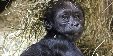 Infant western lowland gorilla Moke plays in a pile of hay