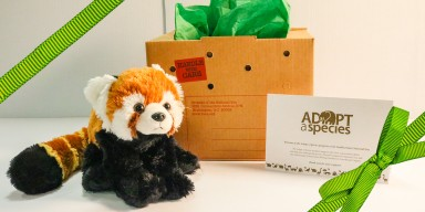 an plush red panda with a shipping  box