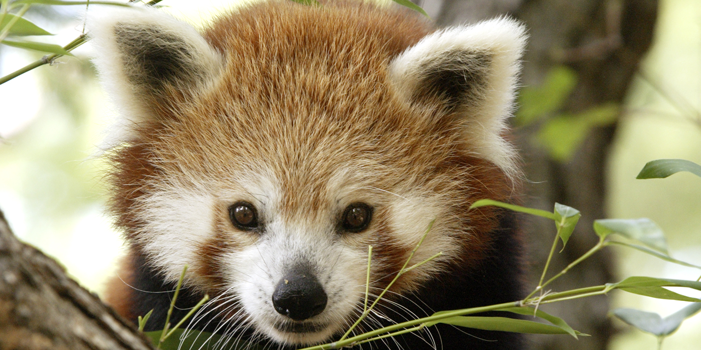 red pandas Did you know red pandas are also called firefoxes learn more facts about this  raccoon-related species and why we should care what.