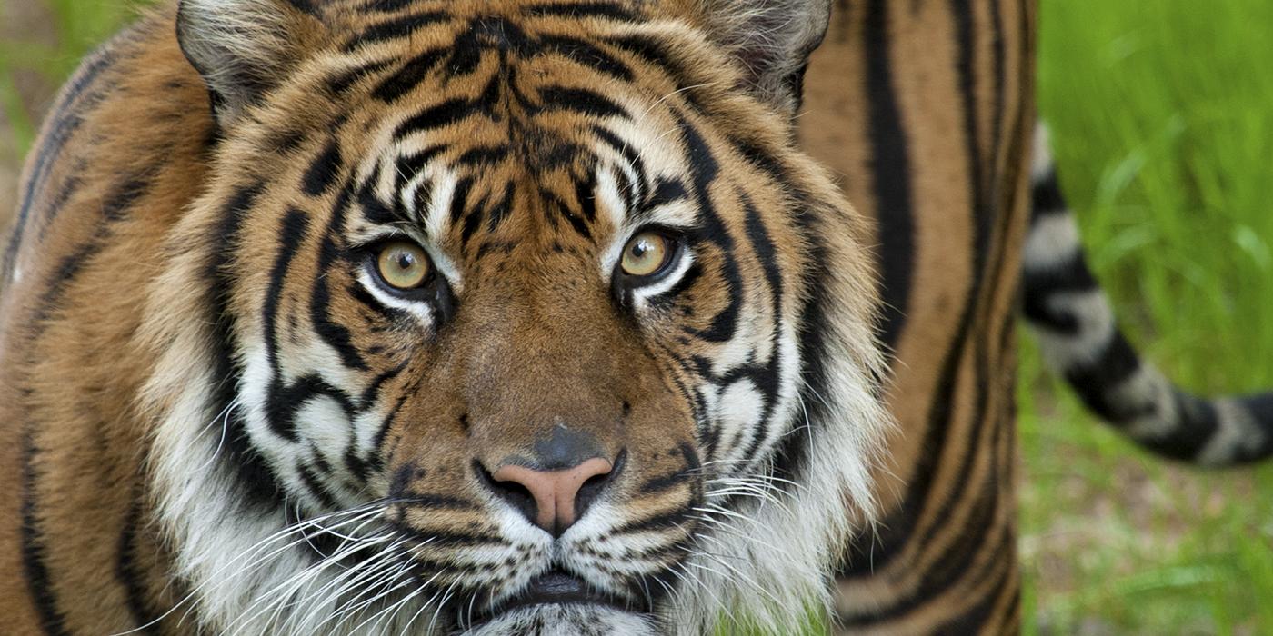 tiger - photo #3