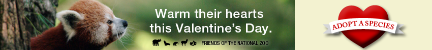 adopt a red panda for valentines day banner