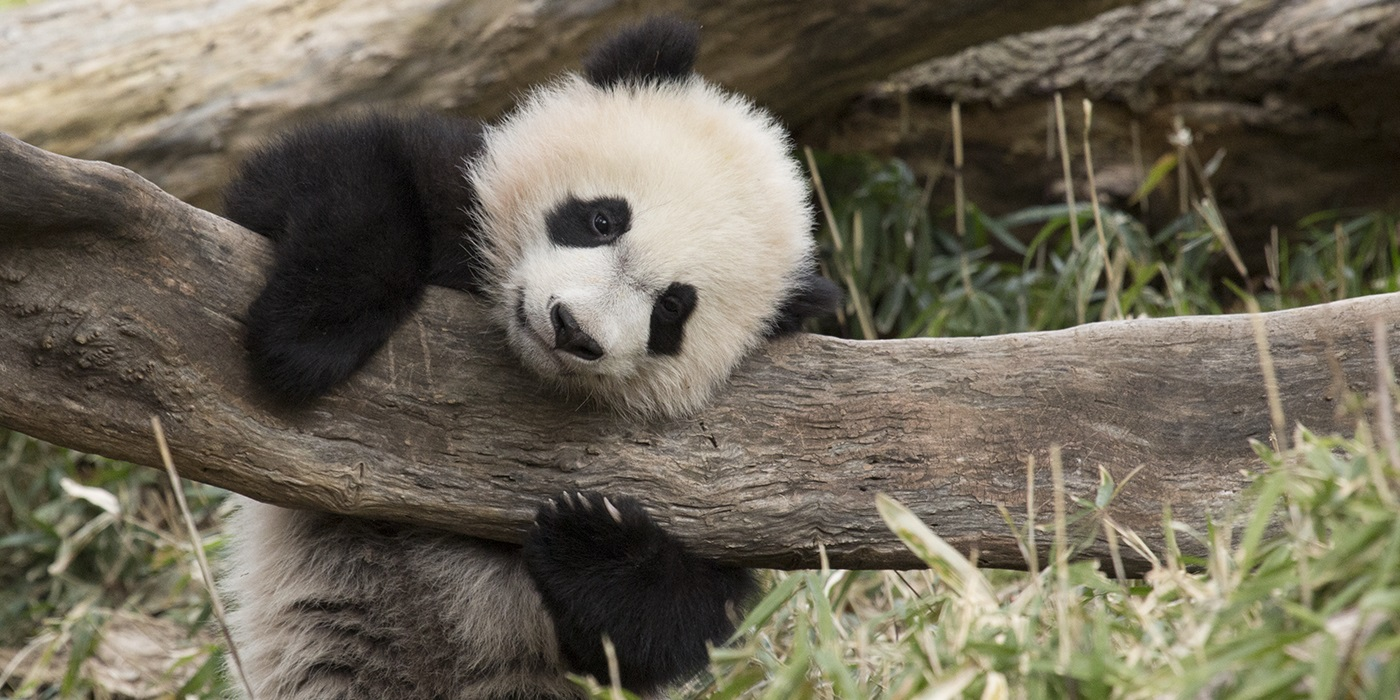 a panda cub hugs onto a log