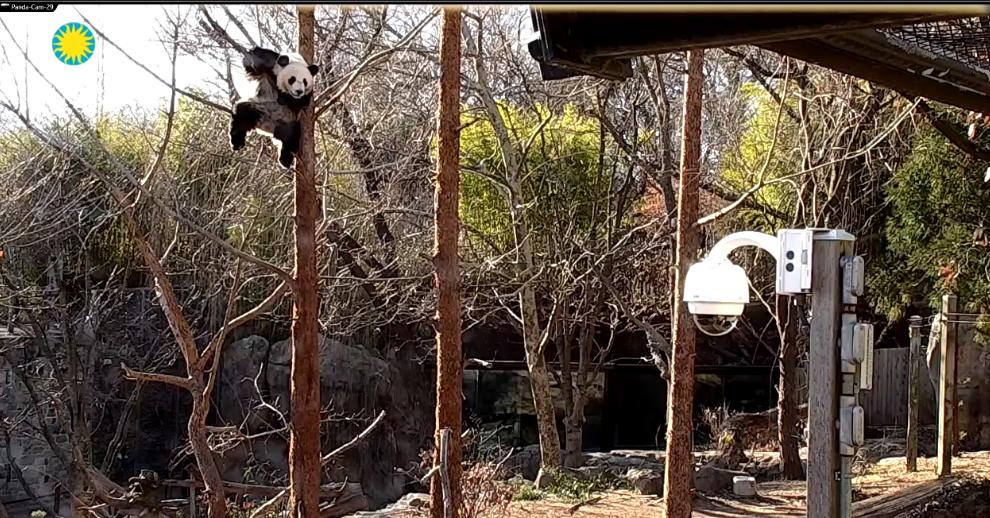 Giant Panda Cam | Smithsonian's National Zoo