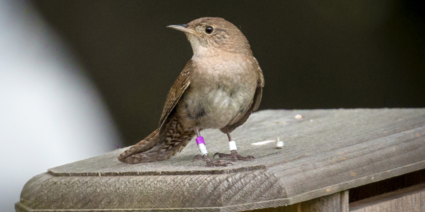 A small, light-brown bird, called a house wren, perched on top of a man-made nesting box. The bird has purple, aluminum and white tracking bands around its legs.