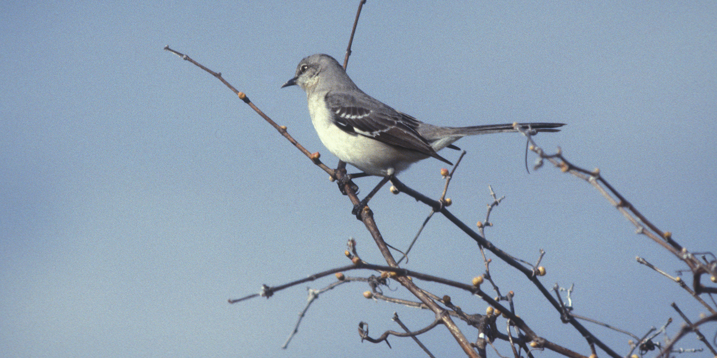 A gray and white bird, called a northern mockingbird, perched on a tree branch