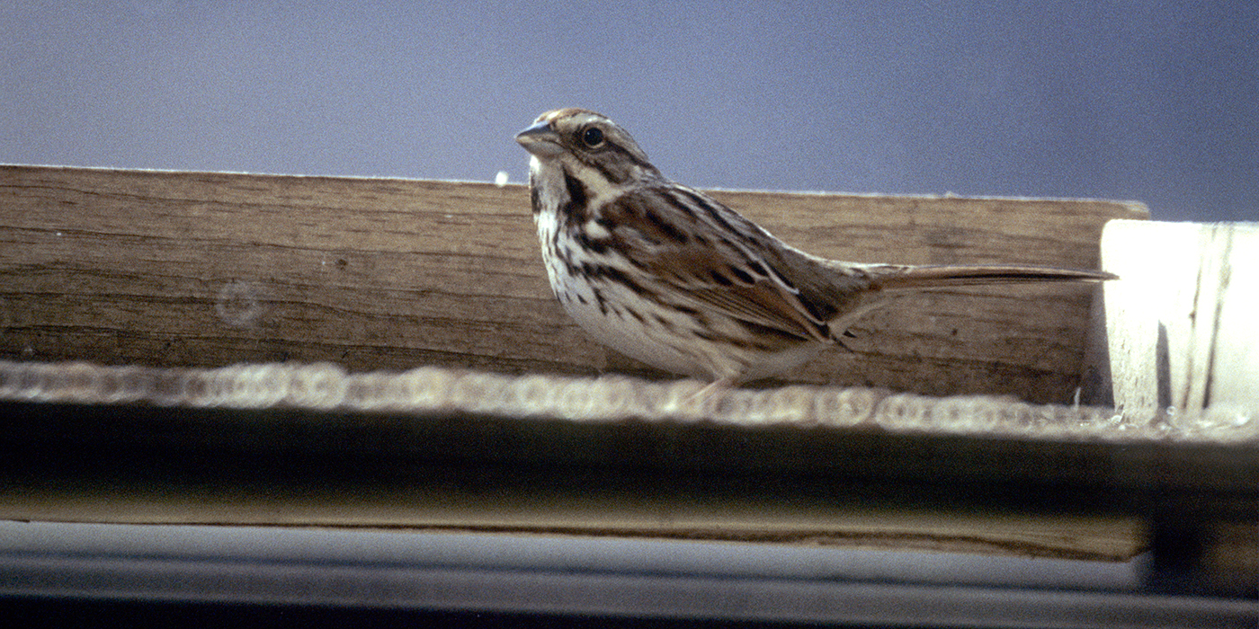 A small brown, beige and black songbird, called a song sparrow, perched on a wood structure