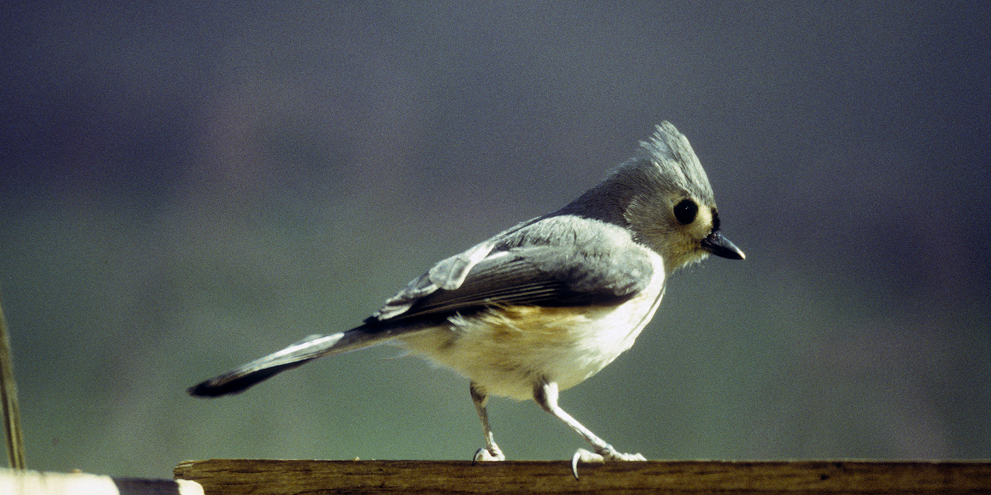 A small bird with gray and white feathers, called a tufted titmouse, standing on the edge of a wooden structure